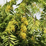 Cananga odorata leaves and flowers