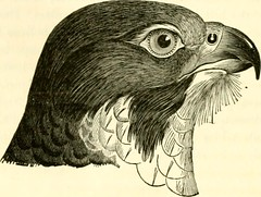 "Image from page 313 of ""A history of British birds, indigenous and migratory: including their organization, habits, and relation; remarks on classification and nomenclature; an account of the principal organs of birds, and observations relative to practic"