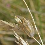 közönséges szipolypoloska - Aelia acuminata