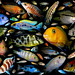 Cichlidae family poster by Andrej Jakubík