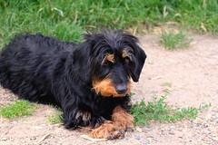 setter(0.0), dog breed(1.0), animal(1.0), dog(1.0), hovawart(1.0), carnivoran(1.0),