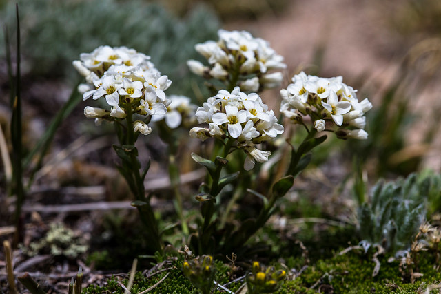Header of Alpine Rockcress