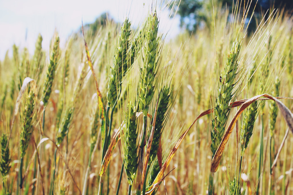 picture-of-ray-wheat-countrylife