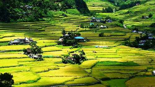 rice paddy terrace philippines farming terraces fields ricefield hapao