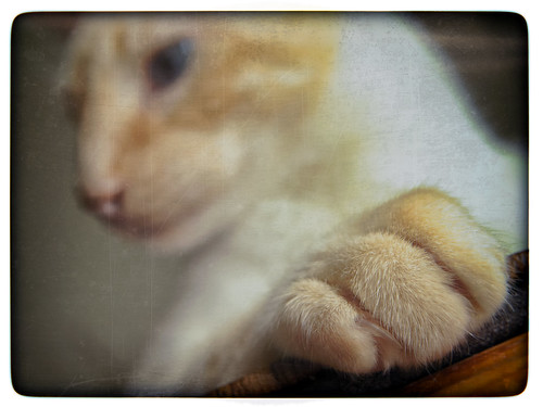 cute texture cat hair fur paw furry nikon warm bokeh kitty siamese sharp claw d200 fuego regal textured dutchangle htt flamepointsiamese hbmike2000 fuegodelrey texturaltuesday