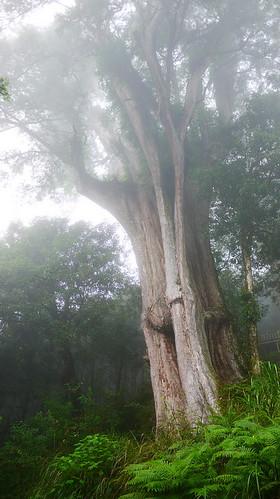 森林裡的紅檜巨木多半成為中空狀態。圖片攝影:徐嘉君