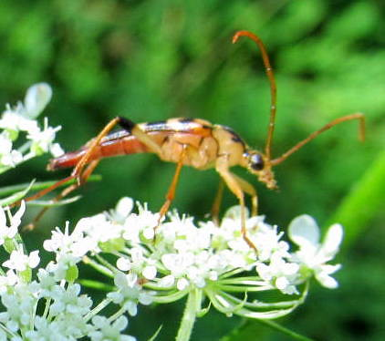 backyard beetle queenanneslace 6legs putnamcounty carmelny strangalialuteicornis longhornedwoodborer summer2014 goldbackmarks longgoldantenna