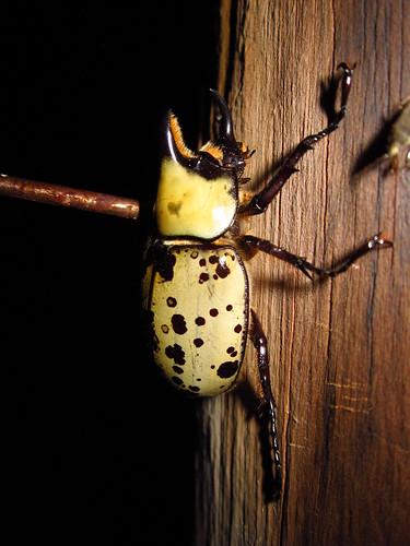 Eastern Hercules Beetle, Dynastes tityus #2