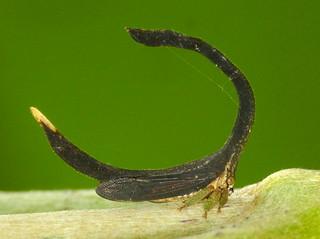 Treehopper, Cladonota apicalis