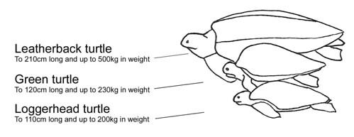 圖片來源:Shark Bay,革龜(上)相較於其他海龜體型比較示意圖。