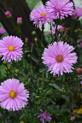 SYMPHYOTRICHUM novi-belgii 'Farncombe Lilac'