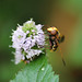 Volucella zonaria - Allotment - 5th September