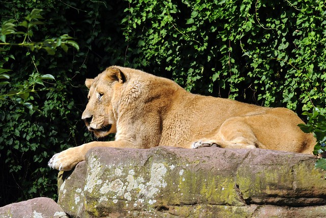 Panthera leo persica - photo#30