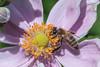 Bee on Anemone