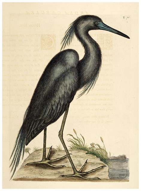 009-Garza azul-Natural History of Carolina, Florida and the Bahama Islands-Vol1-1754