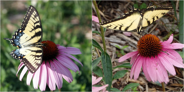 two pictures: female and male Eastern tiger swallowtail butterflies