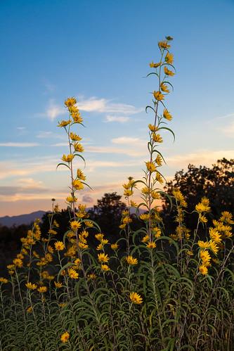 365/2: 261. Evening sunflowers.