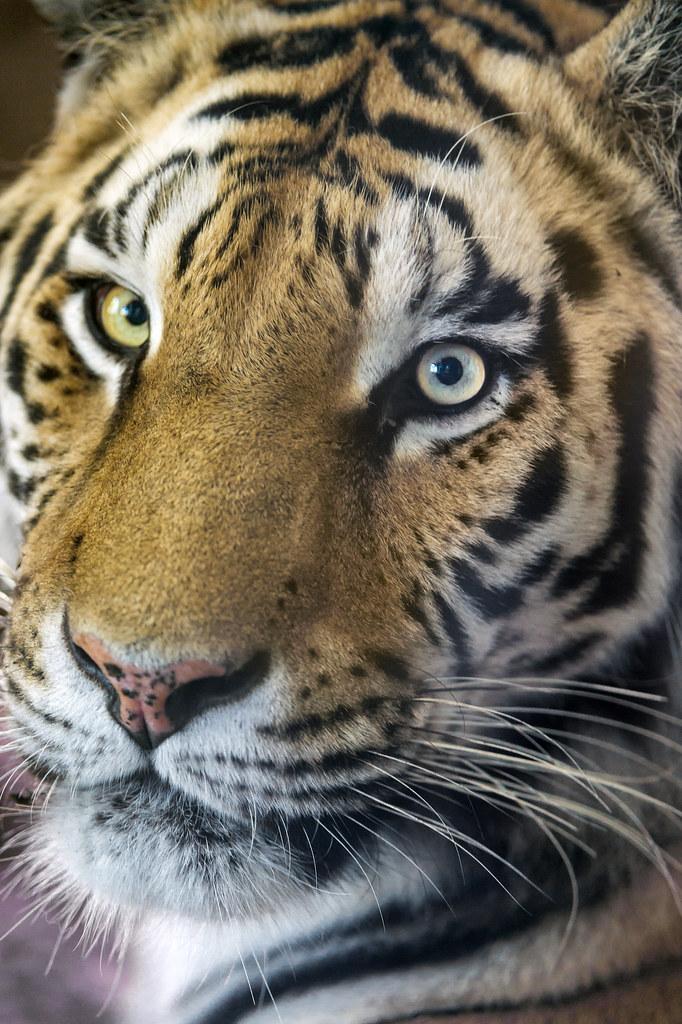 Pretty tiger!