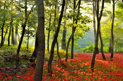 trees nature forest garden landscape flora korea seoul wildflowers redspiderlily nikondf