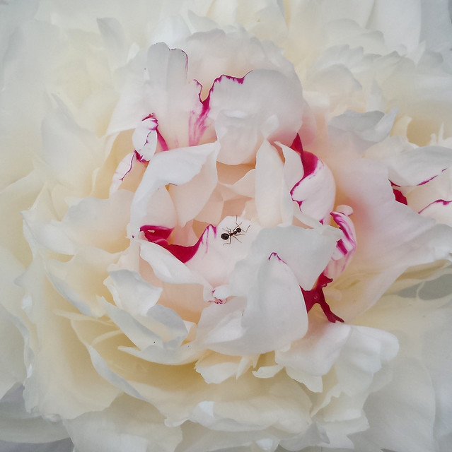 one small ant in the middle of an open white peony blossom with bright pink streaks