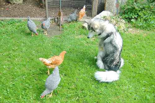 a malamute and chickens living in harmony? I.