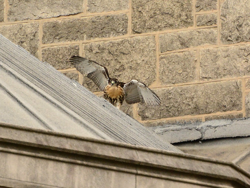 Cathedral Hawk Fledgling (1433)