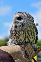 falcon(0.0), wildlife(0.0), animal(1.0), bird of prey(1.0), owl(1.0), wing(1.0), fauna(1.0), close-up(1.0), beak(1.0), great grey owl(1.0), bird(1.0),