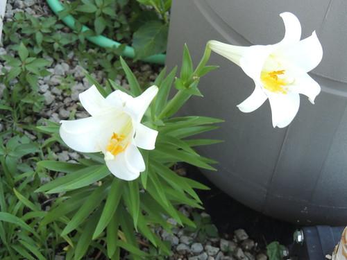 Lilium longiflorum year 1