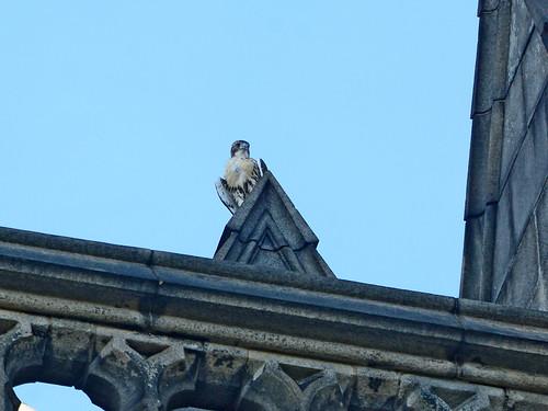 Cathedral Hawk Fledgling (2736)