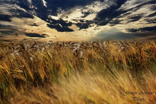 italy art del landscape photo san italia foto arte image wheat piemonte cielo giugno colori gianni paesaggio alessandria grano giuliano immagine 2014 nuovo spighe armano maturazione