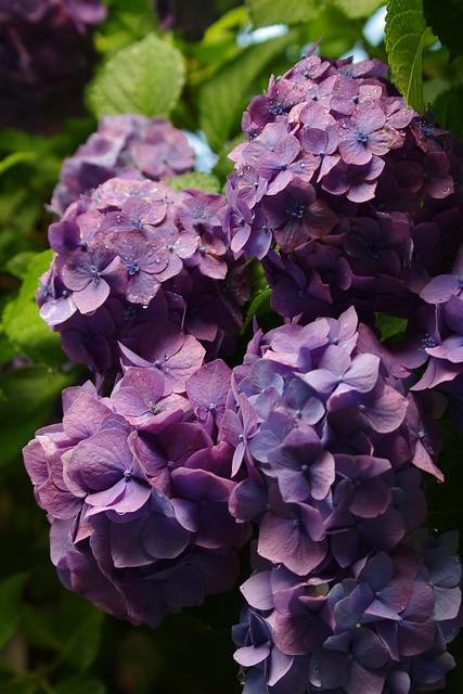 朝露に濡れる紫陽花