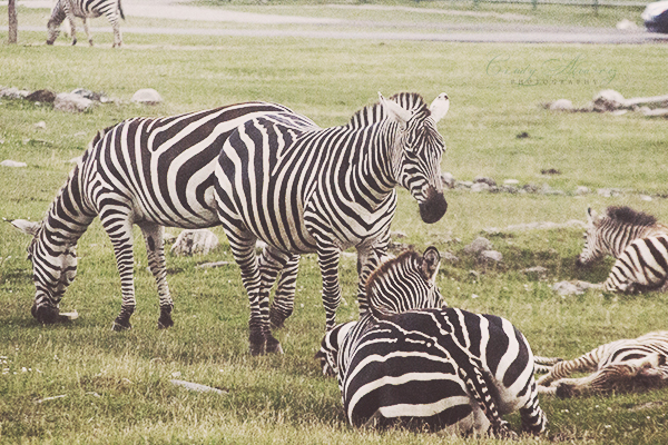 blog Zebra