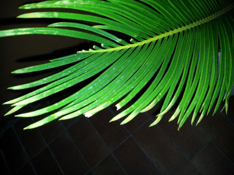 Foglie cycas rovinate: cosa fare? Forum Giardinaggio