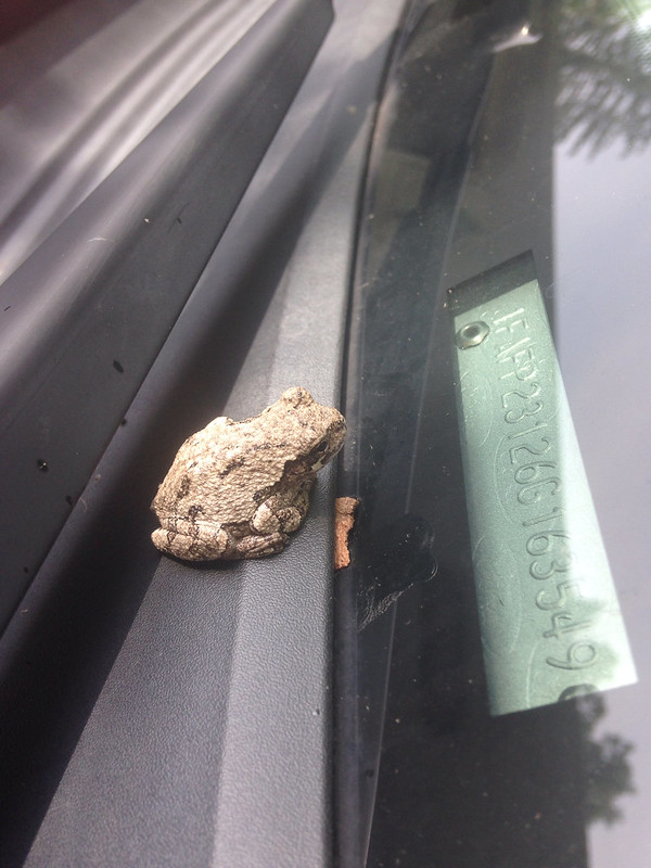 Frog on a windshield