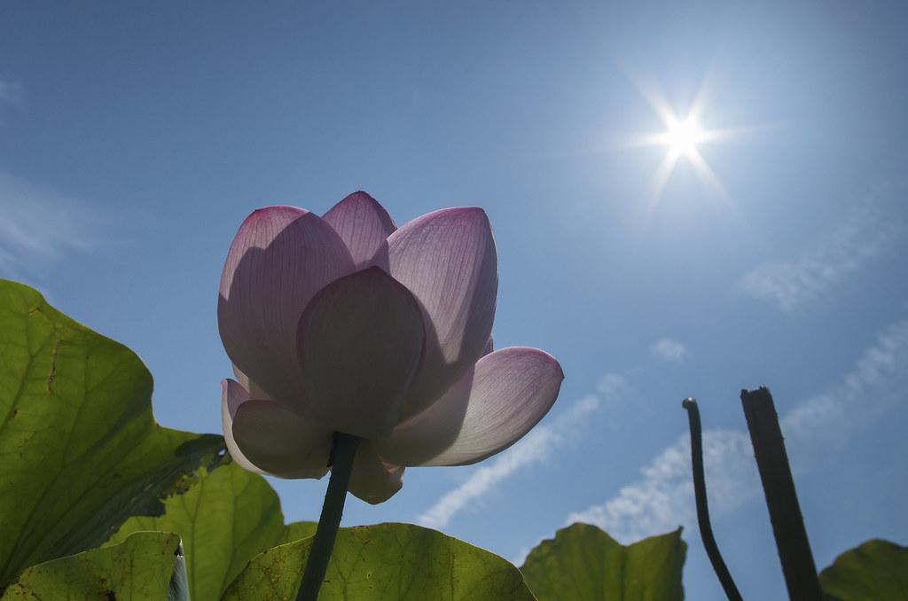 荷花 × 豔陽