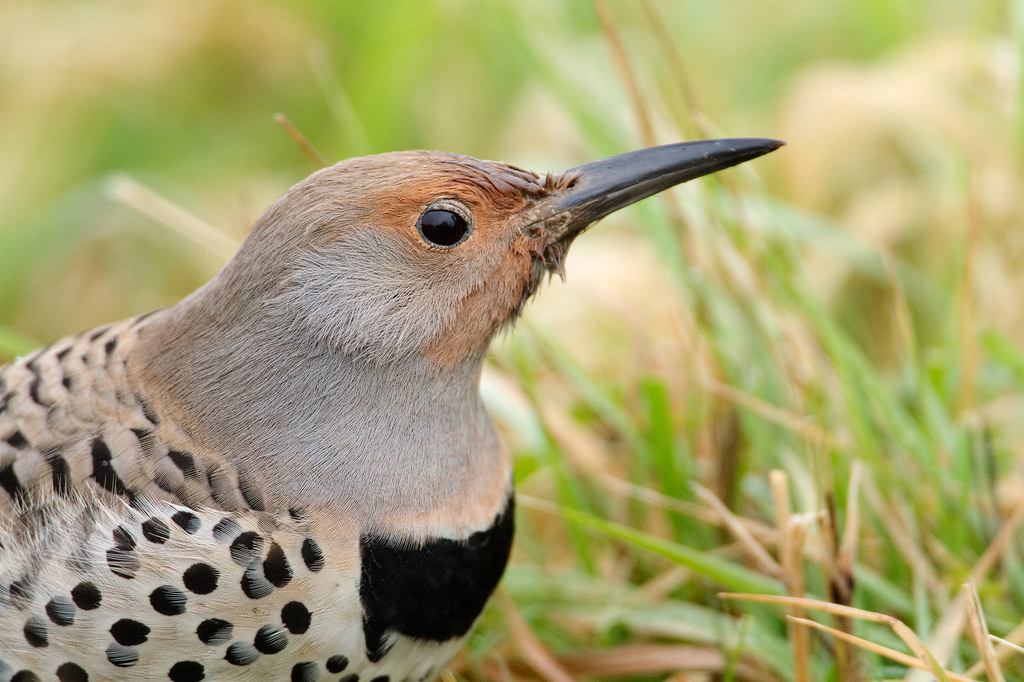 A close-up view of the face of a female northern flicker