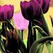 Small photo of Tiptoe Thru the Tulips