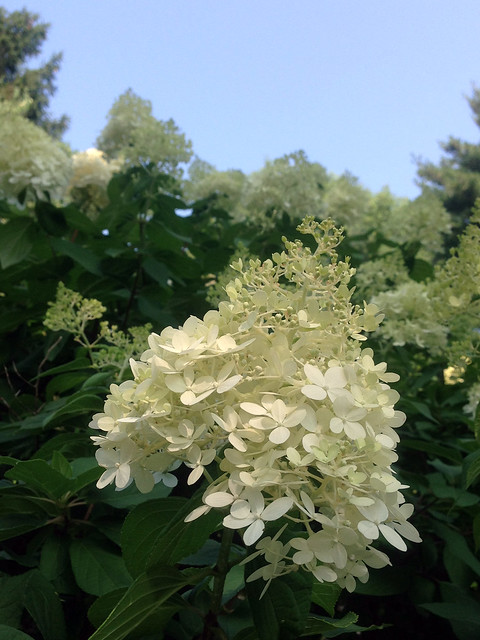 0803-hydrangeapaniculata