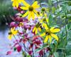 Tall Coneflower (Rudbeckia Laciniata) and Bees