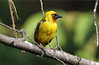 Ploceus castanops ♂ (Northern Brown-throated Weaver)