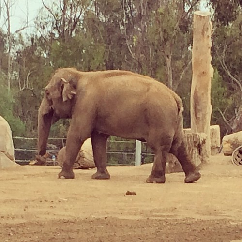 #elephant #sandiego #zoo #kategoestocalifornia