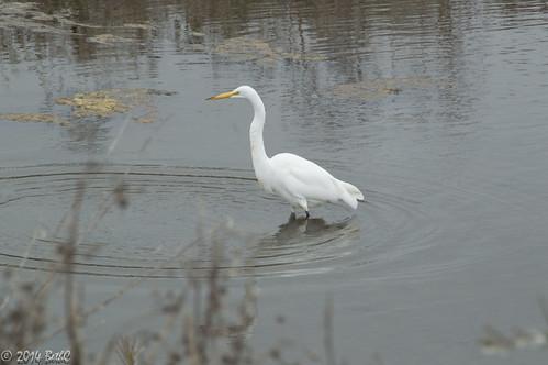 236/365 Lunching Snowy Egret