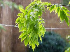Rainy wisteria