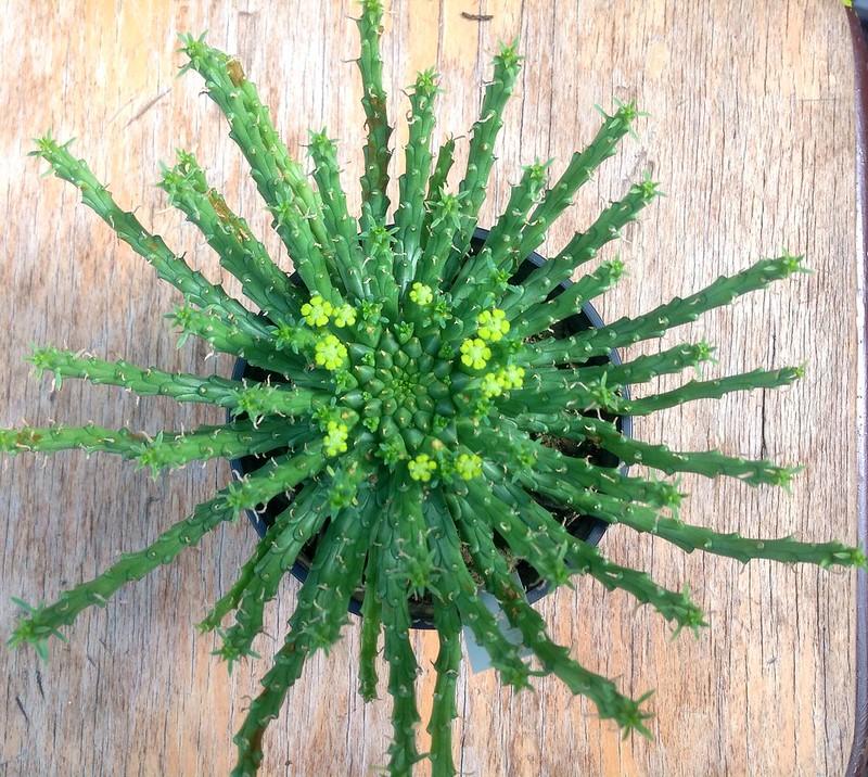 euphorbia flanaganii 14946027521_0cdf28c629_c