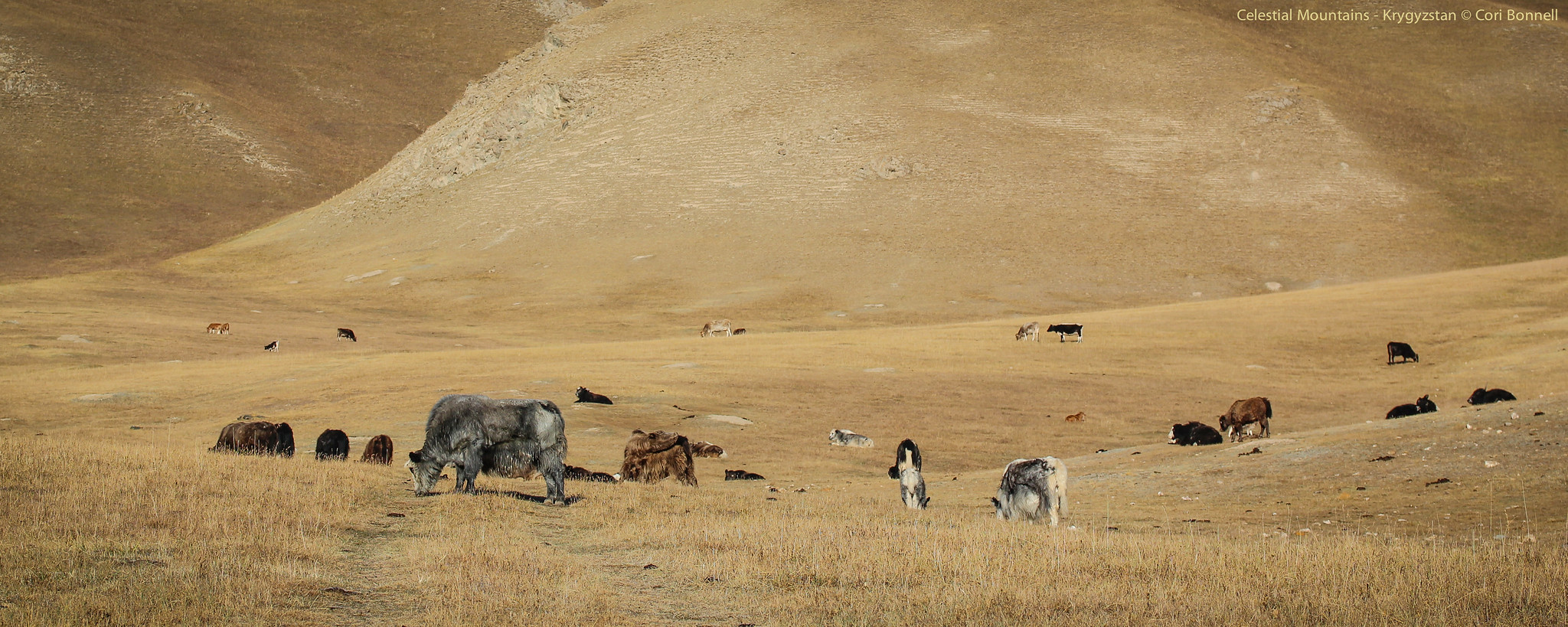 Yaks in the foothills of the Celestial Mountains