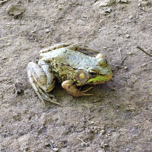 Froggie friend on the hiking path.