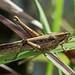 Saltamontes - Grasshopper