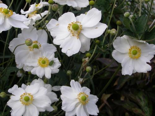 Anemones (2)