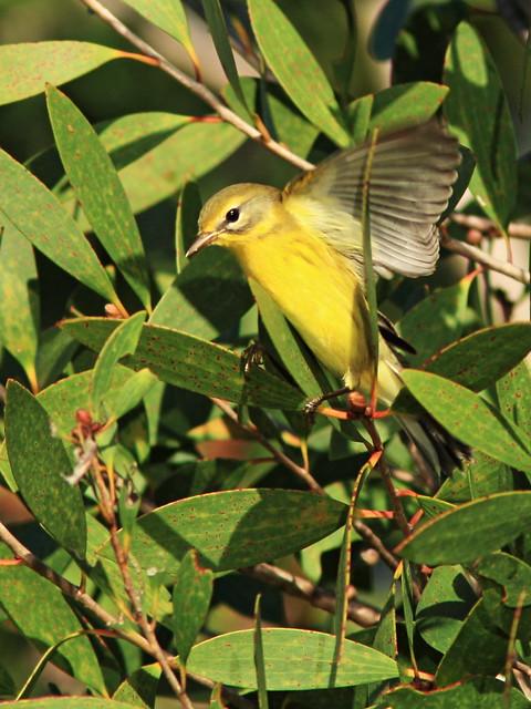 Prairie Warbler 3-20140903