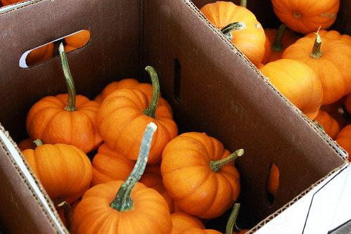 pumpkins, pumpkin patch, pumpkin picking, sugar pumpkins, small pumpkins, autumn